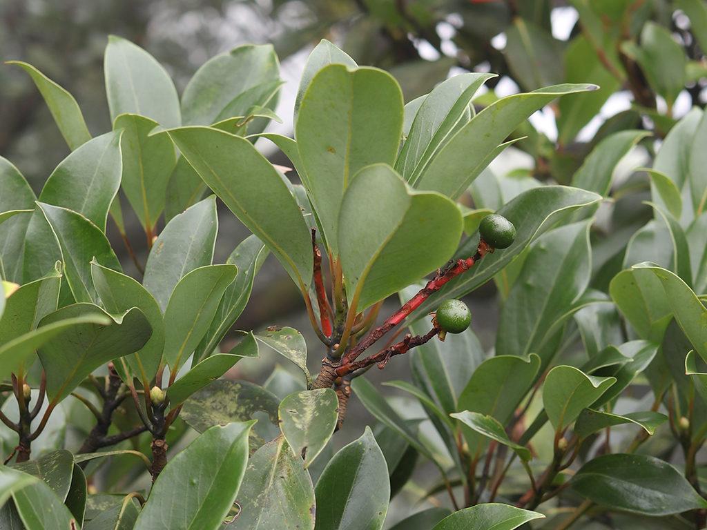 Machilus thunbergii