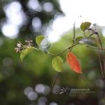 Urceola rosea
