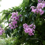 Lagerstroemia speciosa (L.) Pers.