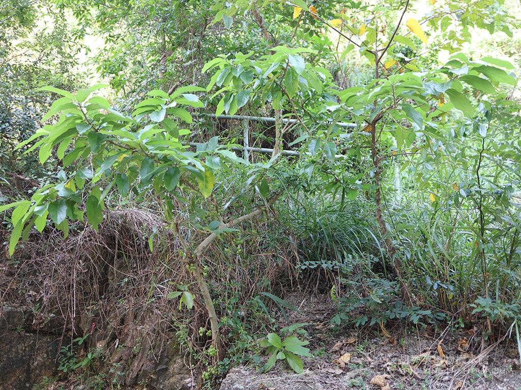 Ficus hispida L.f.