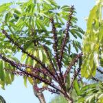Schefflera actinophylla (Endl.) Harms