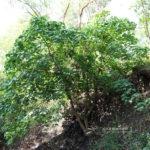 Macaranga tanarius var. tomentosa