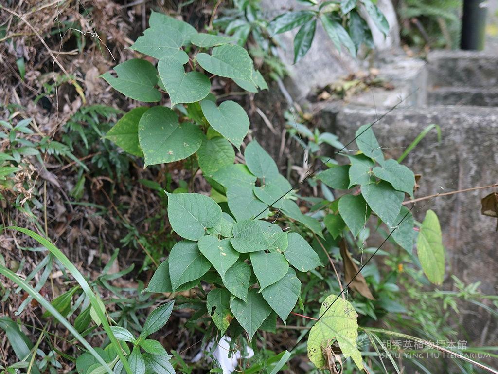 Alchorneatrewioides(Benth.) Müll. Arg.