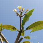 Plumeria rubra L.