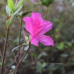 Rhododendron pulchrum Sweet