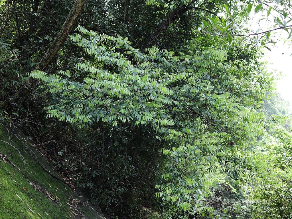Diospyros eriantha Champ. ex Benth.