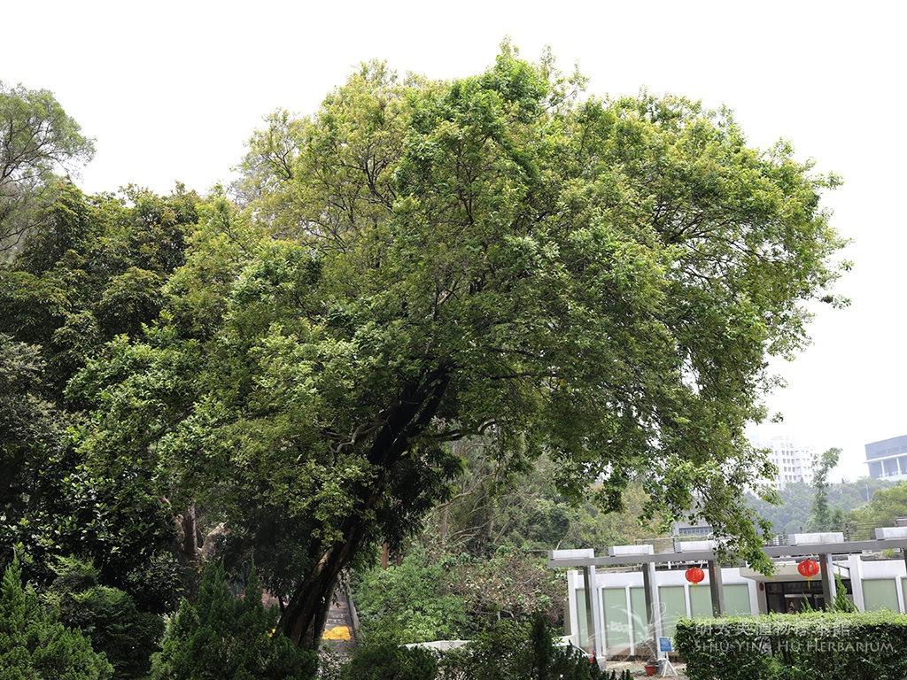 Celtis timorensis Span.