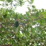 Fruiting branchlet