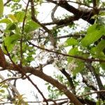 Flower branchlet