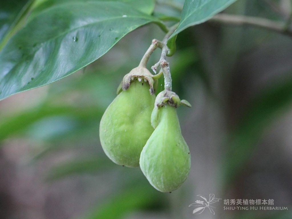 Aquilaria sinensis (Lour.) Spreng.