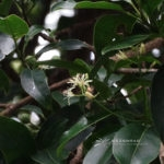 Acronychia pedunculata (L.) Miq.