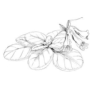 Herb:|:草本植物:|:草本植物