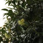 Syzygium jambos (L.) Alston