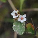 Rhaphiolepis indica (L.) Lindl. ex Ker