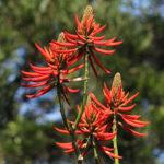 Erythrina speciosa Andrews
