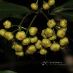 Ardisia quinquegona Blume