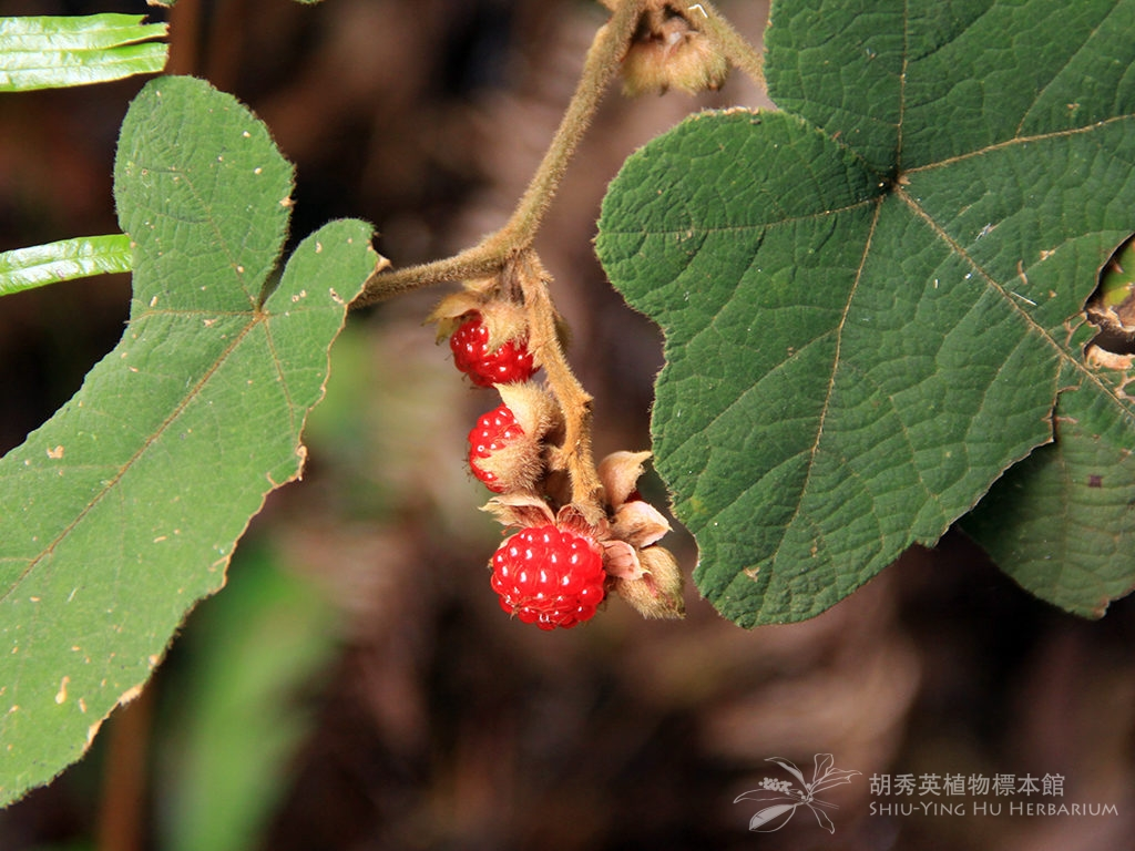 Rubus reflexus Ker Gawl.