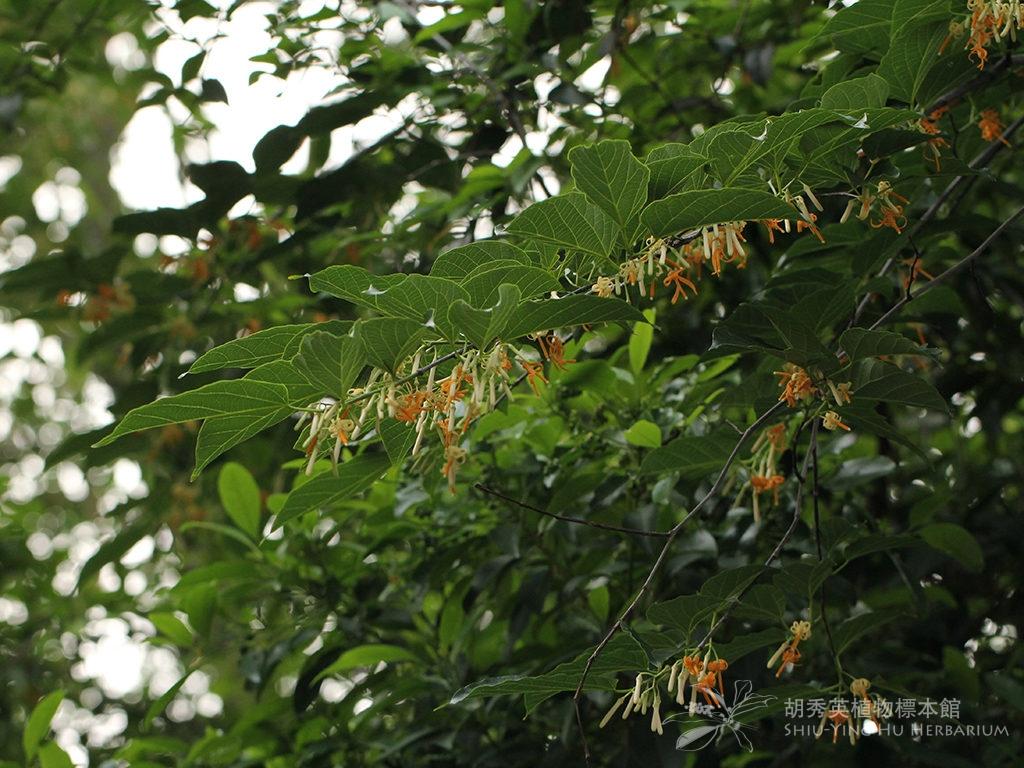 Alangium chinense (Lour.) Harms