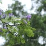 Jacaranda mimosifolia D. Don