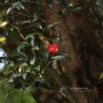 Camellia hongkongensis Seem.