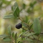 Alyxia sinensis Champ. ex Benth