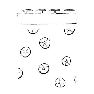 Peltate scale:|:盾狀鱗片:|:盾状鳞片