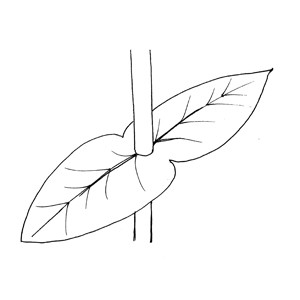 Connate-perfoliate: :合生抱莖: :合生抱茎