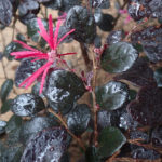 Loropetalum chinense var. rubrum