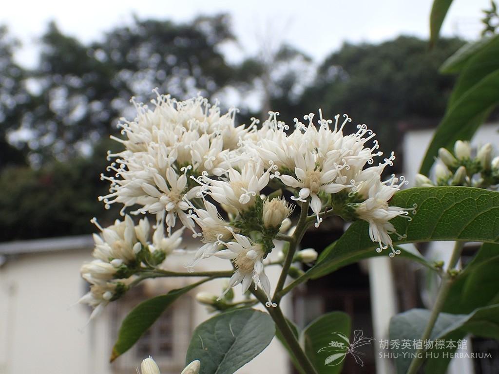 Factsheet: Vernonia amygdalina Delile