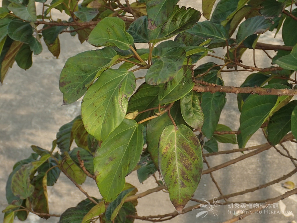 Ficus variegata Blume