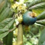 Lasianthus chinensis