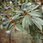 Machilus breviflora