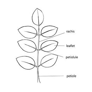 Rachis:|:花序軸 / 葉軸:|:花序轴 / 叶轴