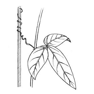 by tendrils:|:卷鬚攀緣狀:|:卷须攀缘状