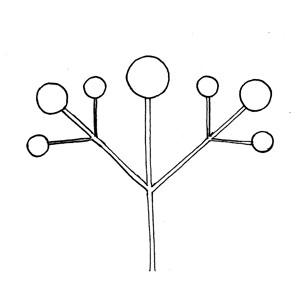 Compound Dichasium: :複二歧聚傘花序: :複二歧聚伞花序