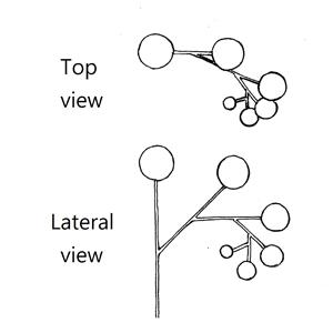 Helicoid cyme:|:螺卷聚傘花序:|:螺卷聚伞花序