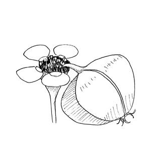 Cyathium:|:杯狀聚傘花序:|:杯状聚伞花序
