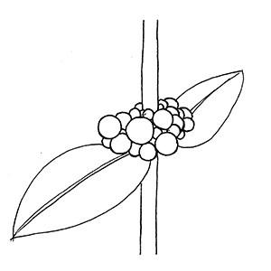 Glomerule:|:團集聚傘花序:|:团集聚伞花序