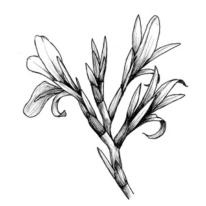 Rhipidium: :扇狀聚傘花序: :扇状聚伞花序