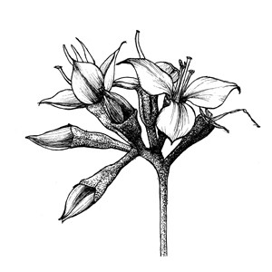Scorpioid cyme:|:蠍尾聚傘花序:|:蝎尾聚伞花序