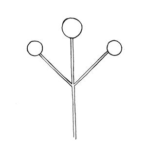 Simple Dichasium:|:二歧聚傘花序:|:二歧聚伞花序
