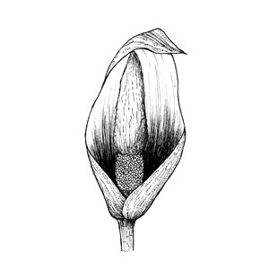 Spadix: :肉穗花序: :肉穗花序