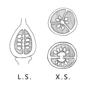 Axile placentation:|:中軸胎座:|:中轴胎座