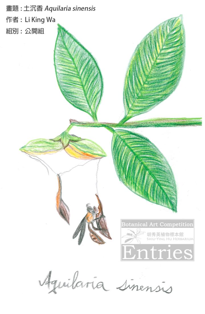 <i>Aquilaria sinensis</i>土沉香